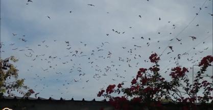 Escalofriante plaga de murciélagos en Australia